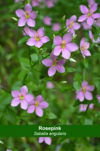 Rosepink (Sabatia angularis)