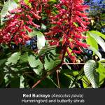 Red Buckeye Flowers