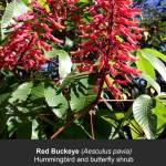 Red Buckeye Flowers
