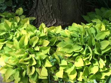 Hostas Around the Tree Base