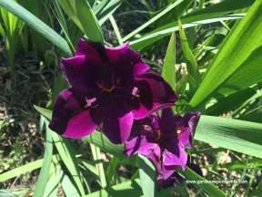 la-iris-dk-urple
