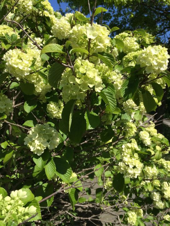 The viburnum was in bloom while we were there