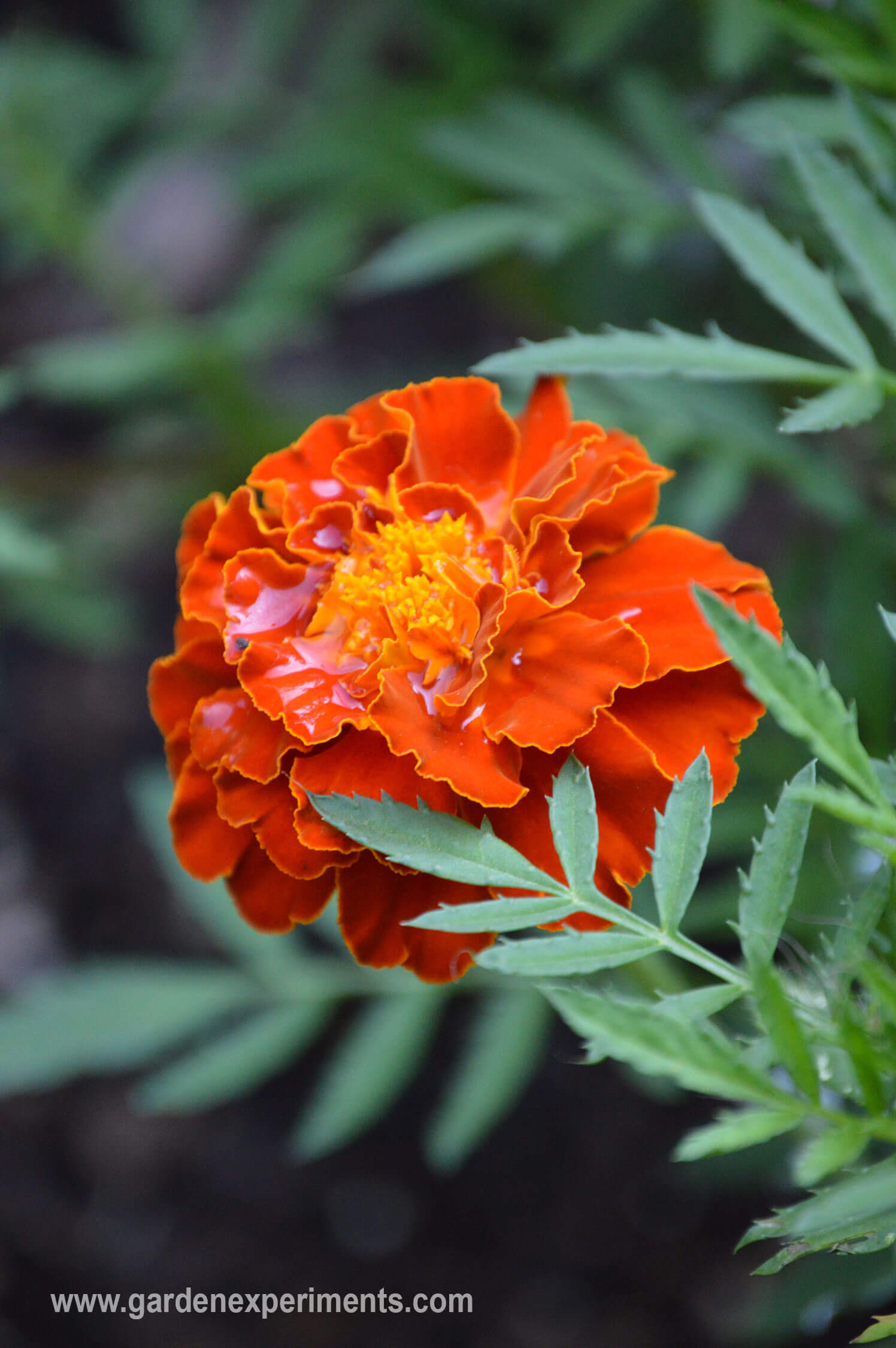 Top 10 flowering plants that beat the heat they are annuals marigold izmirmasajfo