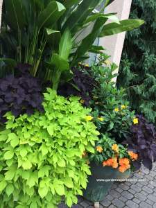 Great Color Combinations for Sweet Potato Vine