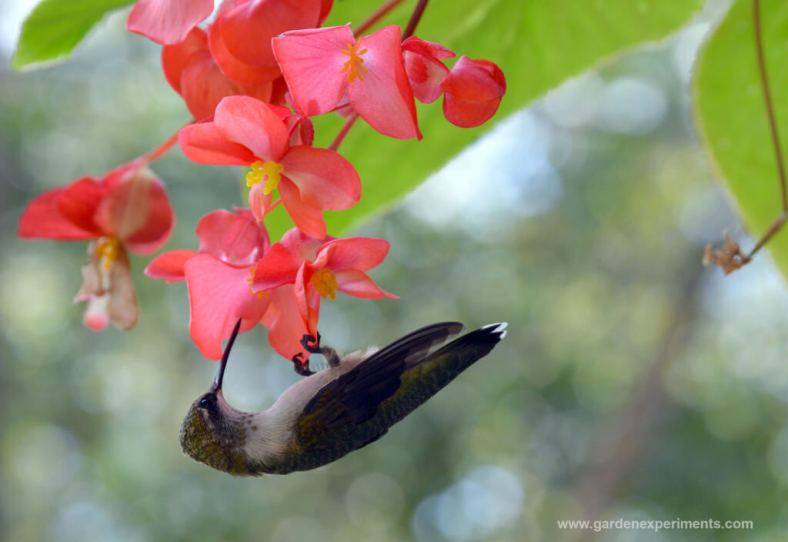 Juvenile Male Hummingbird feeding on angel wing begonia