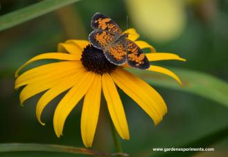 Pearl Crescent butterfly on Black-eyed Susan