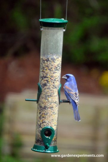 A Blue Grosbeak