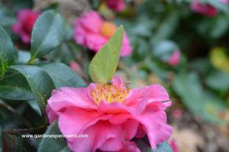 Sulfur butterfly on a camellia