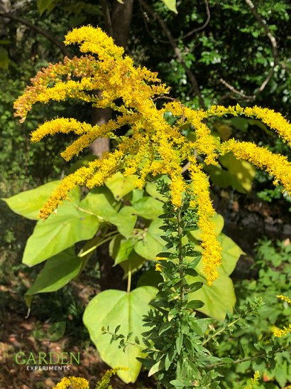 Goldenrod (Solidago sp)