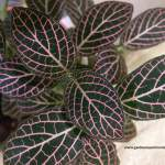 Fittonia - Nerve Plant