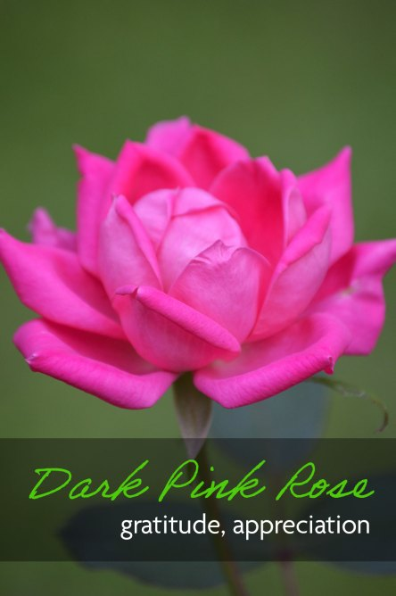 A dark pink rose flower which expresses gratitude and appreciation