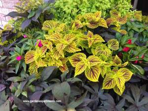 Container garden with coleus, sweet potato vine, and impatiens