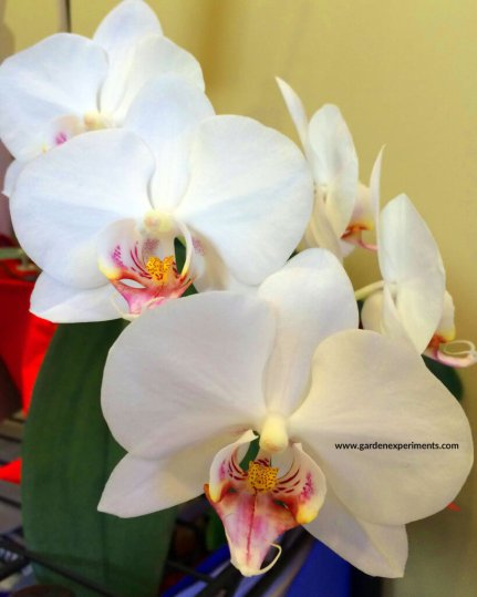 Phalaenopsis orchid blooming in my office