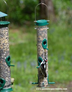 Downy Woodpecker on Duncraft original tube feeder