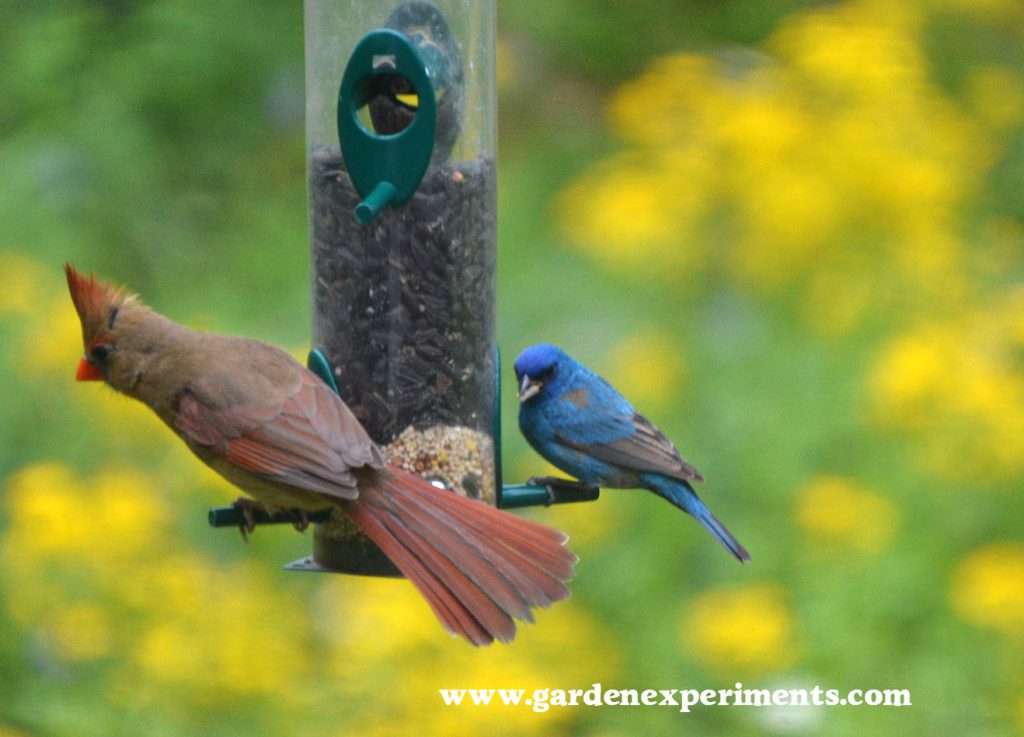 Female cardinal and male indigo bunting on the Duncraft Original Tube Feeder