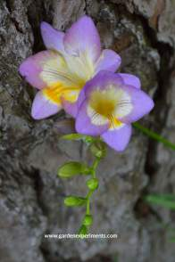 freesia-purple-web