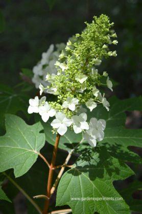 oak-leaf-hydrangea