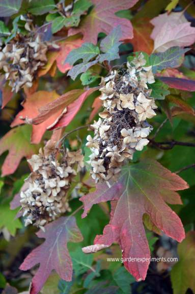 Fall colors of oak leaf hydrangea