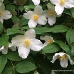 Scentless Mock Orange – When a Dogwood isn't a Dogwood at All