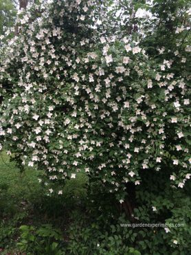Scentless mock orange flowers