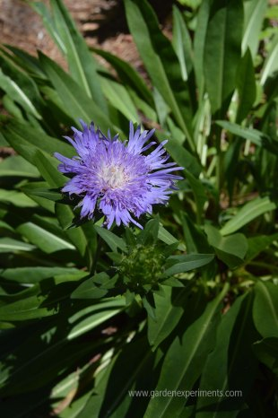 Stokes aster plant