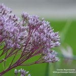 What's the Buzz about Joe Pye Weed?
