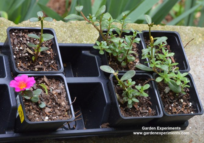 Rooting portulaca cuttings