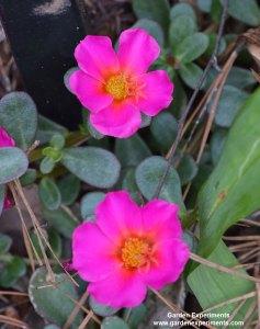 Get Free Portulaca Plants