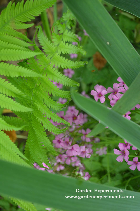 Fern with pink wood sorrel and iris