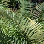 Of Ferns and Fiddles – No Hostas Here
