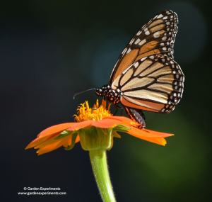 Monarch butterfly on Mexican Sunflower
