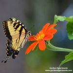Eastern tiger swallowtail feeding on Tithonia