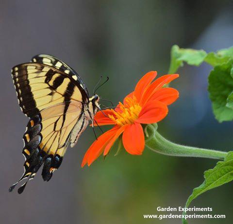 Eastern tiger swallowtail feeding on Tithonia
