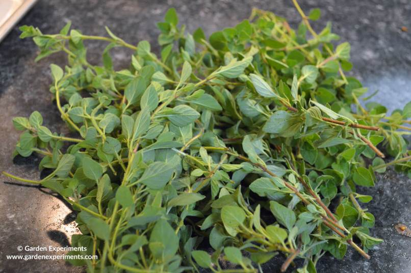 Oregano cut from my herb garden