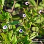 Fog Fruit – Mississippi Wildflower
