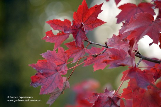 red-maple2