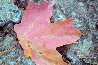 sugar-maple-leaf