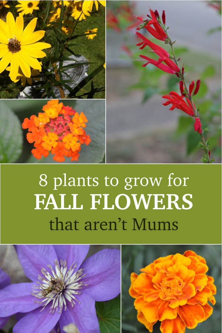 What to plant instead of mums for fall flowers garden experiments 8 plants with amazing color to grow for fall flowers other than mums dhlflorist Images