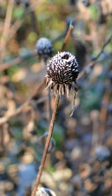 Frost on a seedhead