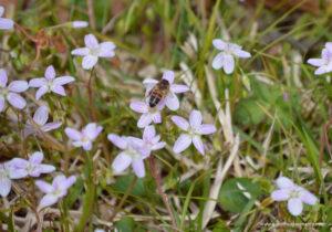 Honeybee on spring beauty