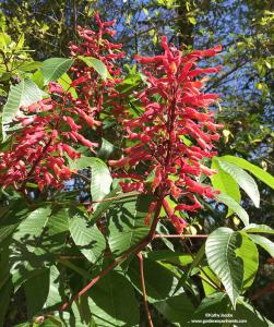 Red buckeye blooming in March