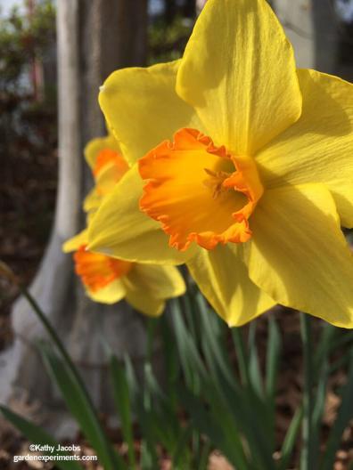 Yellow and orange daffodils