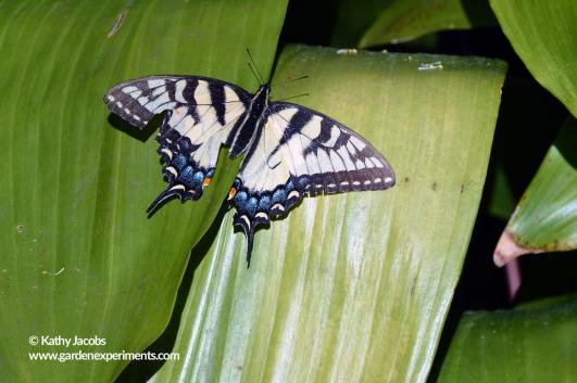 Swallowtail butterfly on cast iron plant