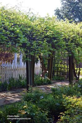 Arbor with native grape vines