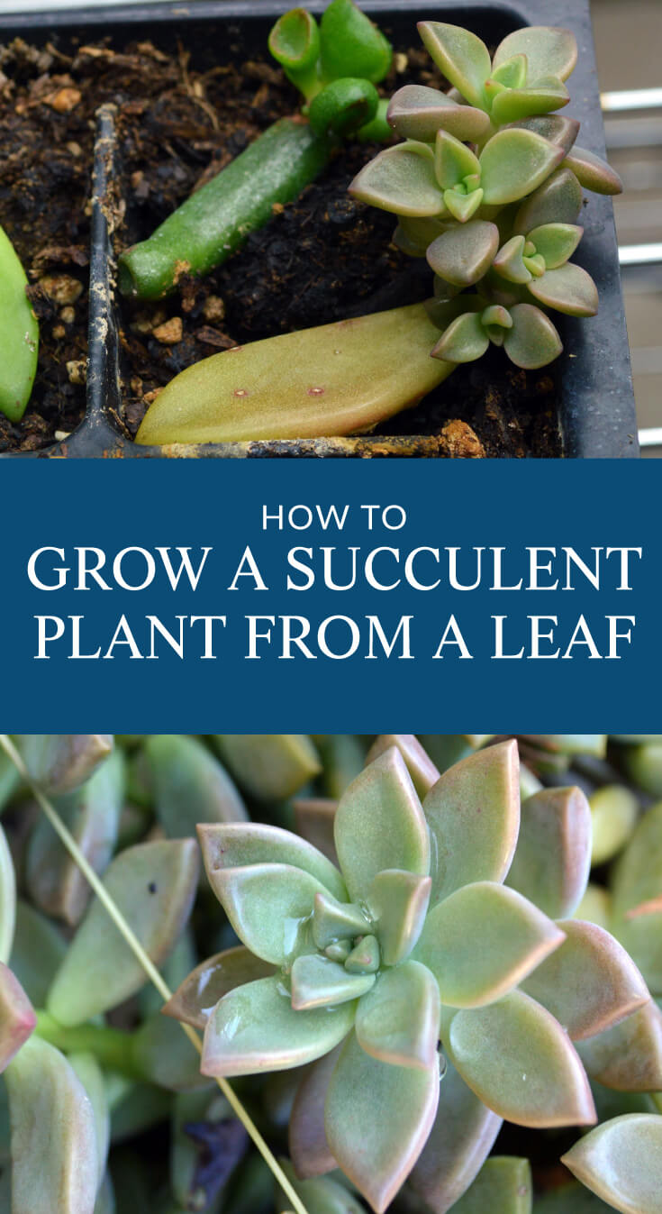 HOW TO GROW SUCCULENT PLANTS FROM A LEAF. It's simple to grow a new succulent plant from a leaf and it's really fun to watch the succulent plant grow. Instructions for growing a succulent from a leaf