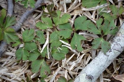Carolina anemone leaves