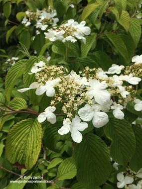 Doublefile viburnum (Viburnum plicatum f. tomentosum cv Mariesii)