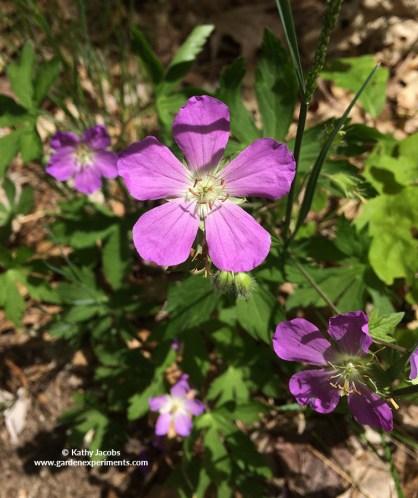 Wild Geranium or Cranesbill