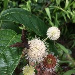 Buttonbush for Wet Soils and Cool Blooms!
