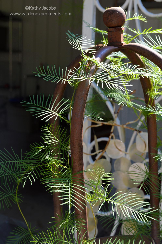 Cypress vine on trellis (in pot)